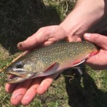 Friday Brook Trout